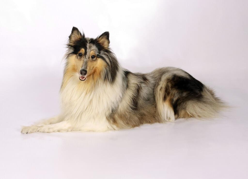 Shetland sheepdog (Top 10 Smartest Dog Breeds)