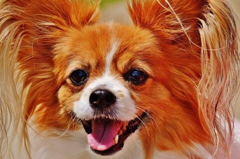 Papillon (Top 10 Smartest Dog Breeds)