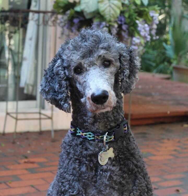 Poodle : Top 10 Smartest Dog Breeds