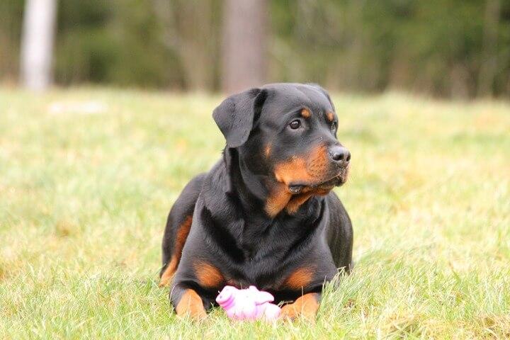 Rottweiler (Top 10 Smartest Dog Breeds)