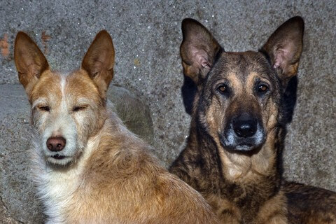 Australian cattle dog  (Top 10 Smartest Dog Breeds)