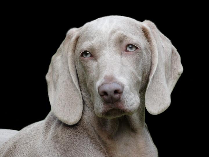 Labrador Retriever (Top 10 Smartest Dog Breeds)