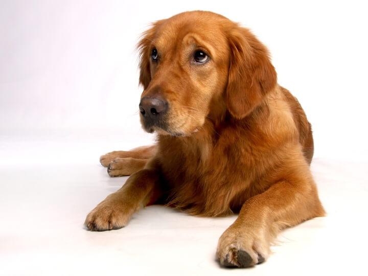 Golden Retriever (Top 10 Smartest Dog Breeds)