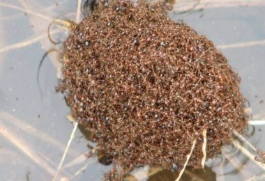 From the oddity of the universe: Ants face floods by forming boats with their bodies!